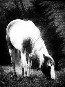 """Grazing"": vertical picture of one black and white horse eats grass in a field."